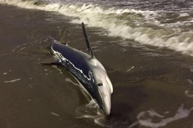 Tubarão-azul encalha em Balneário Camboriú